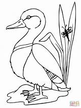 Duck Mallard Drawing Coloring Printable Pages Easy Ducks Drawings Supercoloring Sketch Boyama Animals Stencil Crafts Bird Stencils Patterns sketch template