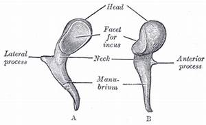 The Auditory Ossicles - Human Anatomy