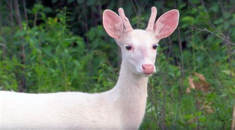 The effort to save the world's largest herd of white deer ...