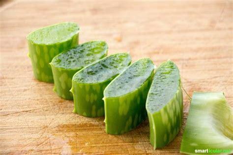 aloe vera pflanze umtopfen aloe vera richtig pflegen damit du immer frisches gel hast