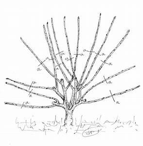 Taille De Cerisier : les secrets de la taille et de la greffe des arbres ~ Melissatoandfro.com Idées de Décoration