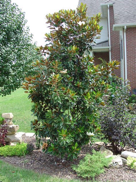 dwarf southern magnolia cultivars  grows