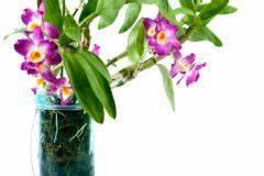 Tulpen Im Glas Ohne Erde : orchideen ohne erde halten so f hlt sie sich auch ohne erde wohl ~ Frokenaadalensverden.com Haus und Dekorationen