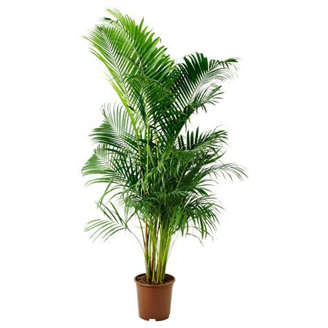 Palmeira Areca | Maison Garden