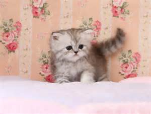 Rug Hugger Breeders by Teacup Munchkin Kittens For Sale Dog Breeds Picture