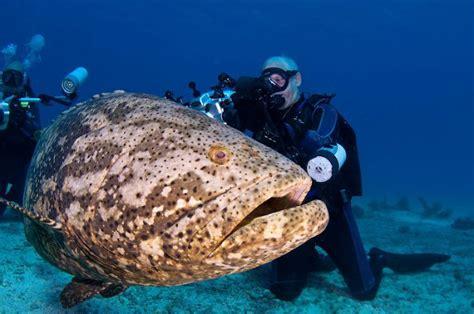 grouper goliath giant atlantic fish ikan kerapu underwater biggest ocean yang besar gergasi largest jewfish huge sea diver raksasa kenali