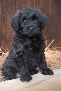 Yorkiepoo (Yorkshire Terrier-Poodle Mix) Info, Temperament ...