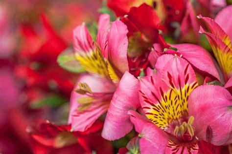 british flower week day  alstromeria pairfum london