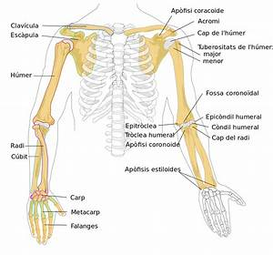 File Human Arm Bones Diagram-ca Svg