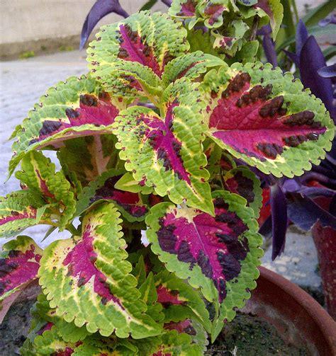 plants coleus coleus wikipedia
