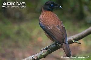 Sexual dimorphism in birds-of-paradise | Structure ...
