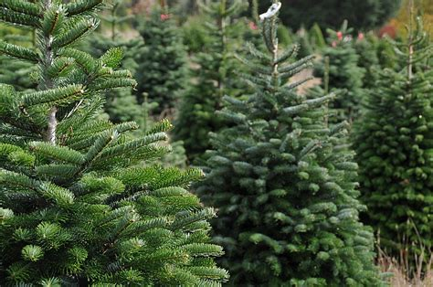 piper mountain christmas tree farm for sale tree permits for prescott forest available nov 17 the daily courier prescott az