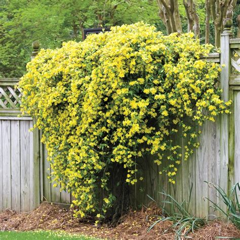 hardy carolina jasmine henry fields seed nursery