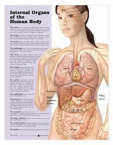 Internal Organs Of The Human Body Female Human Anatomy
