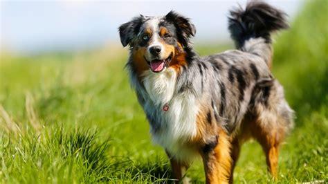 le berger for sale berger australien tout sur la race de chien berger australien