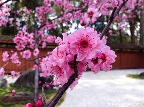 auburn cherry blossom festival  sydney