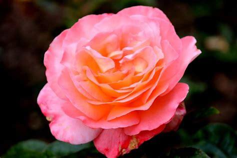 alte rosensorten stark duftend rosensorten duftrosen pau paul bocuse paul bunyan