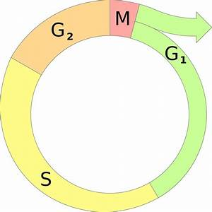 File Cell Cycle Diagram Svg  U2014 Wikimedia Commons