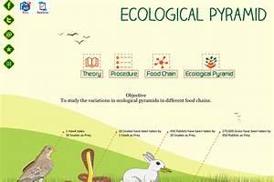 Ecological Pyramid Related Keywords - Ecological Pyramid ...