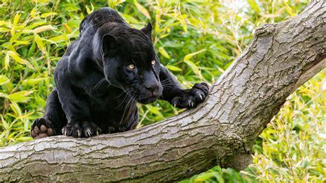 Pantera Animal Wallpaper - animals black panther on a tree desktop wallpaper hd