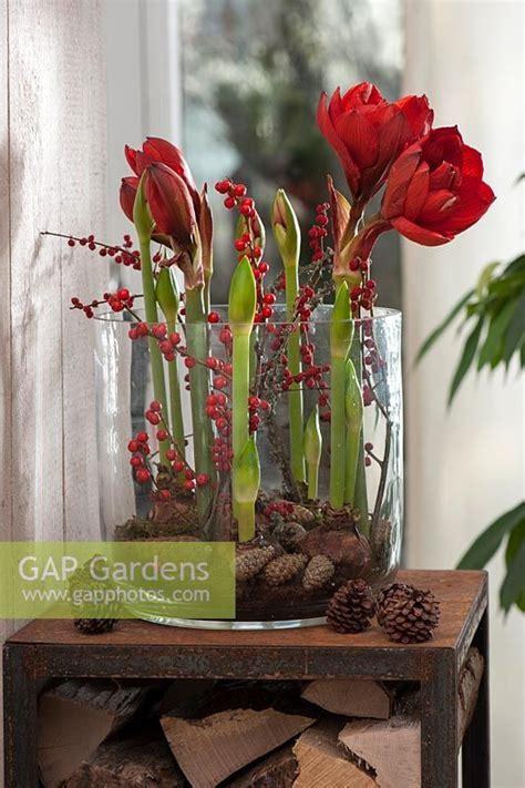 Amaryllis Im Glas Dekorieren by Hippeastrum Amaryllis And Pinecones