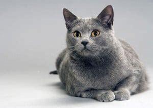gatti da appartamento esiste una razza ideale
