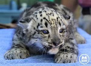 snow leopard Archives - Animal Fact Guide