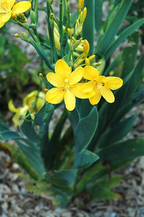 yellow blackberry lily iris domestica  yellow