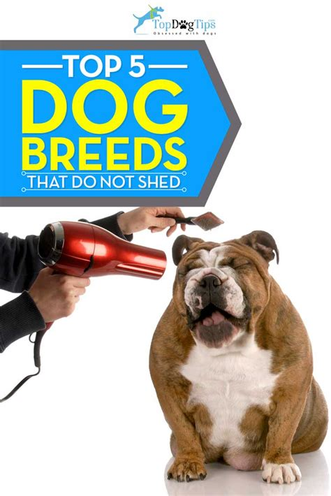 Shed Free Dogs by 5 Best Shed Free Dogs Breeds That Don T Shed Top Tips