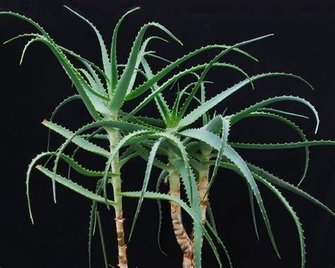 Aloe Arborescens Coltivazione In Vaso by Aloe Arborescens Coltivazione Aloe Come Coltivare L