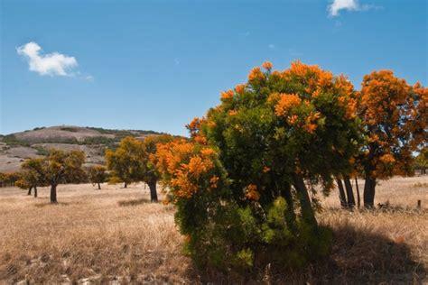 Native Mistletoe, Western Australia's Christmas Tree