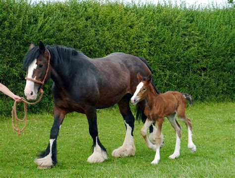 shire horse female park tatton welcomed birth rare sensation secret named very aboutmanchester