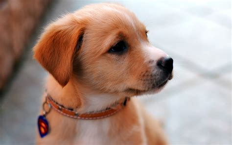 Puppy Wallpapers Hd Download