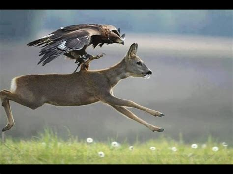 eagle birds attacking characteristics amazing clever attack  animals youtube