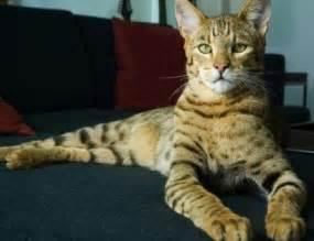 most expensive cat breeds most expensive cat breed