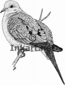Mourning Dove (Zenaida macroura) Line Art and Full Color ...