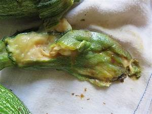 Zucchini Faulen An Der Spitze : faulende zucchini landidylle ~ Eleganceandgraceweddings.com Haus und Dekorationen