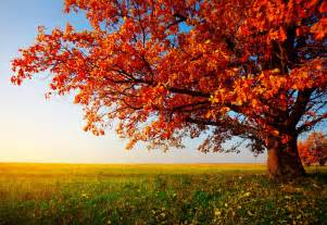 7 trees for summer shade fall color