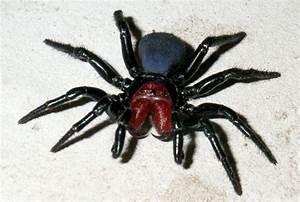 10 most dangerous spiders in Australia | Planet Deadly List