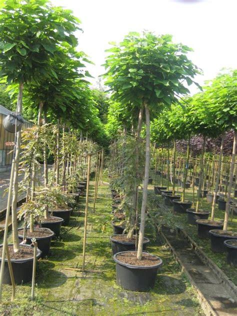 hochstamm trompetenbaum catalpa cm der pflanzenprofi