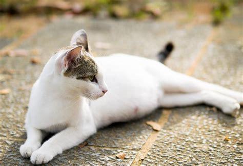 cat pregnancy cat pregnancy signs slideshow