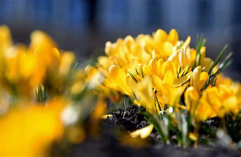 FOTO: Kanālmalā priecē pirmās pavasara puķes - BNN - ZIŅAS ...