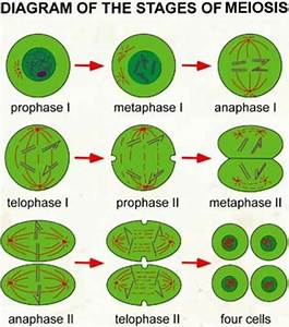 Major Functions Of Mitosis And Meiosis