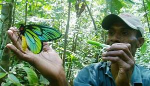 World's biggest butterfly in danger of extinction due to ...