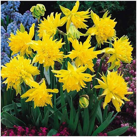rip winkle daffodil bulbs tulips 79 75 per 100 bulbs