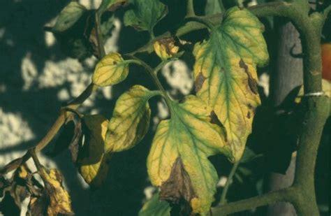 tomaten krankheiten schaedlinge und physiologische