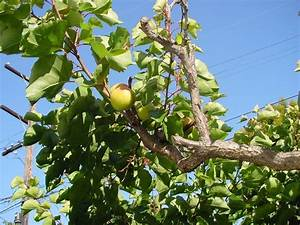 Premature Fruit Drop On Apricot Trees: Why Do Apricot ...