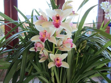 after orchid blooms 25 best ideas about cymbidium orchid care on pinterest cymbidium orchids orchids and