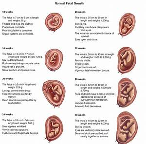 Normal Fetal Growth  U2013 Science Online