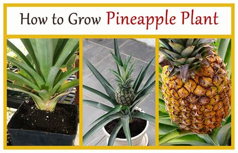 How To Grow Pineapple Plant  Home Gardeners